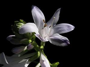 Обои для рабочего стола Вблизи Лилии Черный фон Белые Цветы