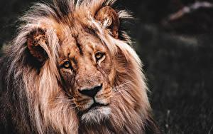 Обои Вблизи Лев Головы Смотрит животное