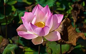Фото Вблизи Лотос Боке Розовая цветок