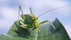 Картинка Вблизи Макросъёмка Кузнечики Зеленый Лапы Размытый фон Locust животное
