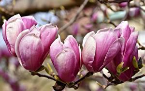 Картинки Вблизи Магнолия Розовая Ветвь Цветы
