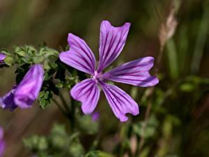 Обои для рабочего стола Вблизи Мальва Фиолетовая Боке Malva sylvestris цветок