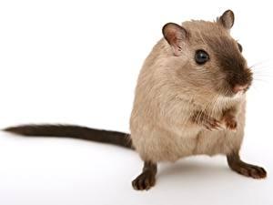 Картинки Вблизи Мыши Грызуны Белом фоне Смотрит животное