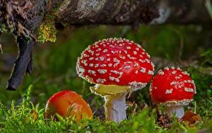 Картинки Вблизи Грибы природа Мухомор Мха Природа