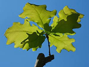 Фото Вблизи Дуб Ветка Листья