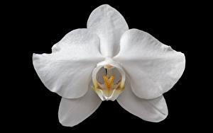 Фотография Вблизи Орхидея На черном фоне Белая цветок