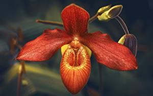 Картинка Крупным планом Орхидеи Боке Красных цветок