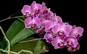 Фотография Крупным планом Орхидея Розовый На черном фоне Цветы