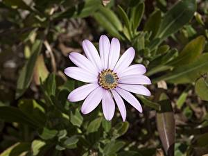 Картинки Вблизи Боке Фиолетовых Osteospermum Цветы