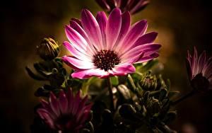 Фото Вблизи Бутон Розовая Osteospermum цветок