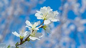 Фото Крупным планом Боке На ветке Peaches branches Цветы