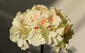 Обои Крупным планом Pelargonium Цветы