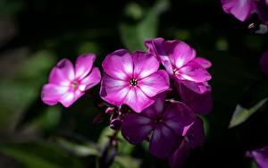 Картинки Вблизи Флоксы Боке Розовая цветок