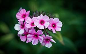 Фотографии Вблизи Флоксы Размытый фон Розовых Цветы