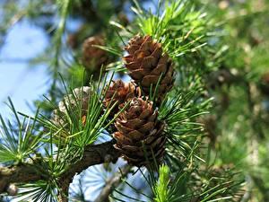 Фотография Вблизи Шишка Ветвь Природа
