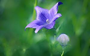 Фото Крупным планом Боке Бутон Фиолетовая Колокольчик Platycodon, Chinese bellflower Цветы