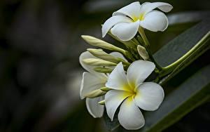 Фото Вблизи Плюмерия Боке Белая Цветы