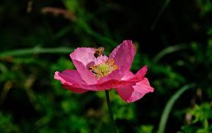 Обои Вблизи Мак Пчелы Насекомое Боке Розовая цветок