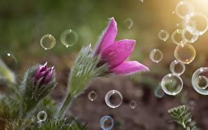 Картинка Вблизи Прострел Розовая Мыльные пузыри цветок