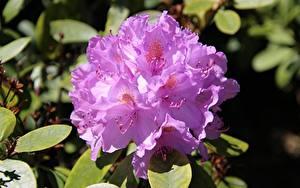 Картинка Крупным планом Рододендрон Розовая Цветы