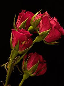 Картинка Крупным планом Роза Черный фон Красный Бутон