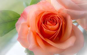 Обои Крупным планом Розы Оранжевый