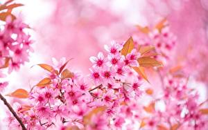 Фотографии Крупным планом Сакура Розовых На ветке цветок