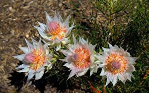 Картинка Вблизи Размытый фон Serruria florida Цветы