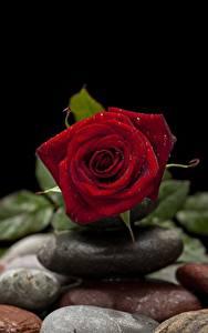 Фотографии Крупным планом Камень Роза Капли