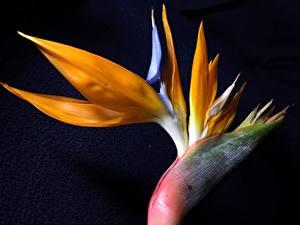 Фото Крупным планом Черный фон Strelitzia цветок