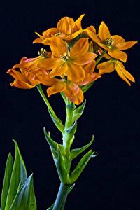 Обои Вблизи На черном фоне Оранжевая Sun Star (Ornithogalum dubium) цветок
