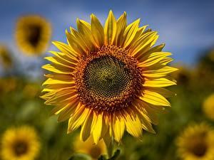 Фотография Крупным планом Подсолнечник Размытый фон Желтых цветок
