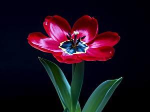 Фотографии Вблизи Тюльпан На черном фоне Красная цветок
