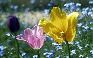 Фото Крупным планом Тюльпаны Вдвоем Розовый Желтый Цветы