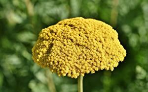Фотография Вблизи Желтая Yarrow, Achillea millefolium цветок