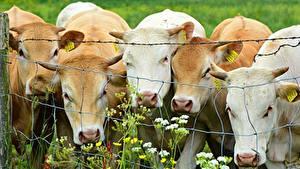 Фото Корова Забора животное