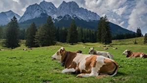 Фотография Коровы Гора Луга Лежа Траве животное Природа