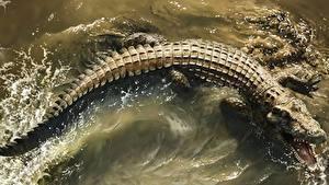Картинки Крокодилы Воде Оскал Сверху животное