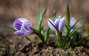 Картинка Шафран Весна Вблизи Боке Цветы