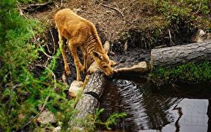 Фотографии Детеныши Лоси Ветвь Пьет воду Животные