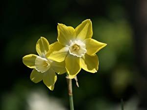 Обои Нарциссы Размытый фон Желтый 2 Цветы
