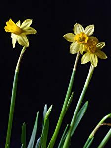 Обои для рабочего стола Нарциссы Вблизи На черном фоне Три Цветы