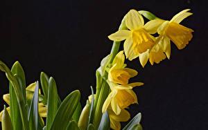 Фото Нарциссы Крупным планом На черном фоне Желтая Цветы