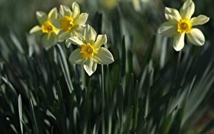 Картинки Нарциссы Вблизи Втроем Боке цветок