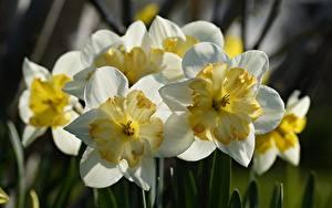 Фотография Нарциссы Вблизи Белая цветок