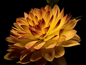 Картинка Георгины Вблизи На черном фоне цветок