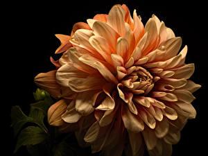 Фотографии Георгины Крупным планом На черном фоне Цветы