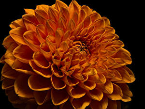 Фотографии Георгины Вблизи На черном фоне Оранжевая цветок
