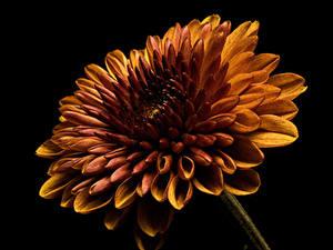 Фотография Георгины Вблизи Черный фон Оранжевых Цветы