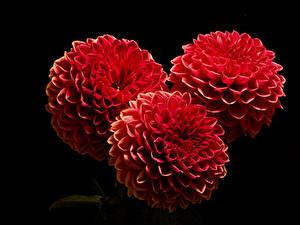 Фото Георгины Крупным планом На черном фоне Трое 3 Красный цветок